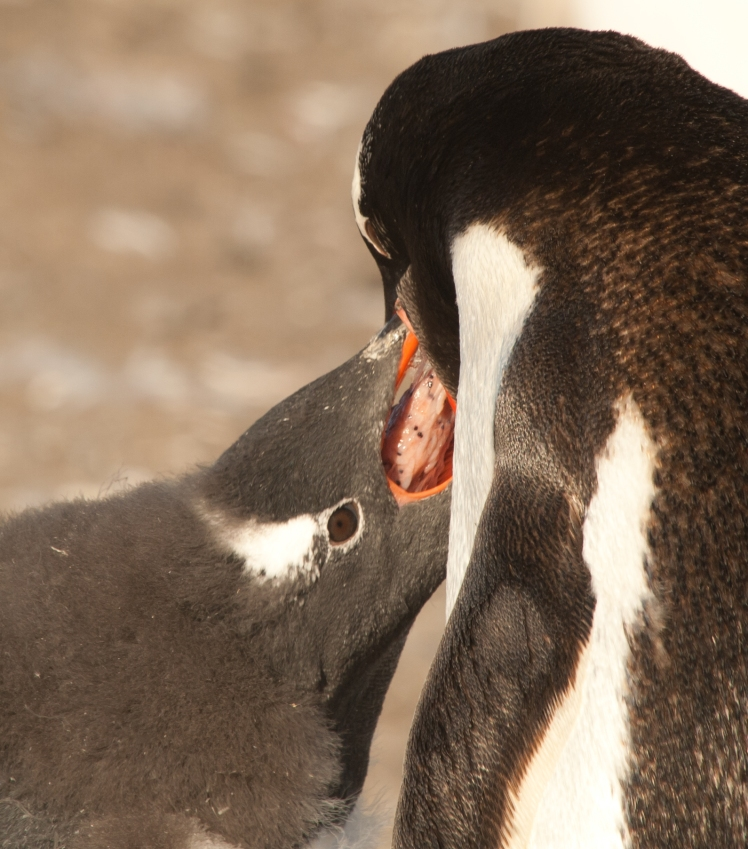 Gentoo penguin feeding Krill to chick