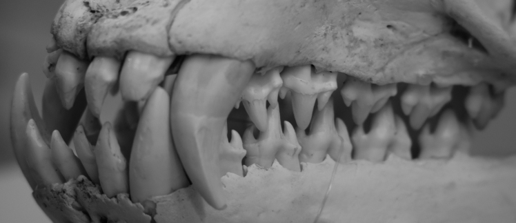 Teeth of a leopard seal designed to filter out Krill