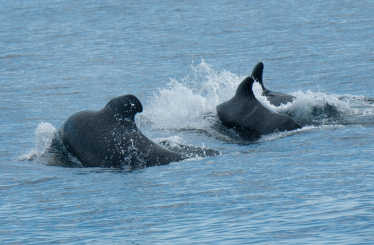 Long-finned pilot whales in the Faroes