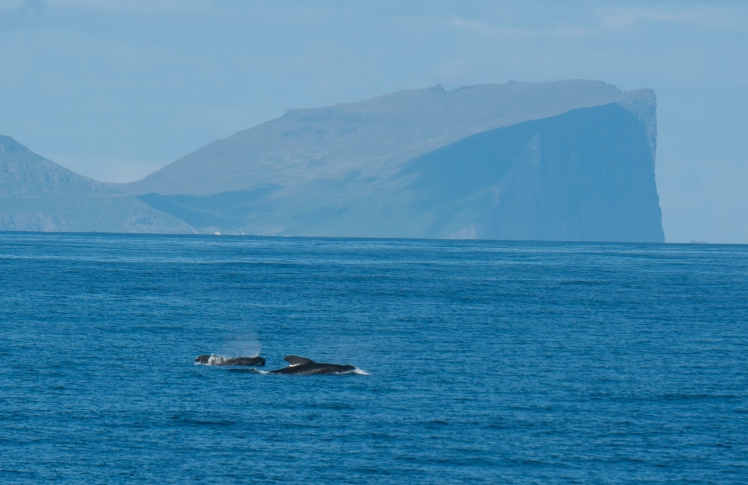 Pilot whales in the Faroes